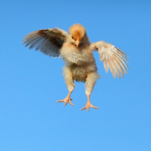 Chick in flight_canstockphoto